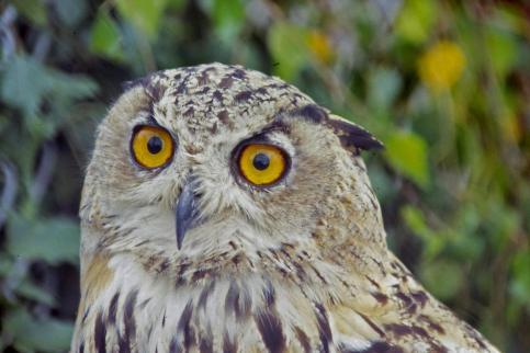 Eared Owl   066