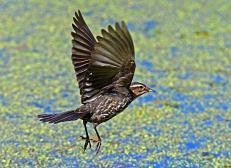Female Red Winged Blackbird in Flight