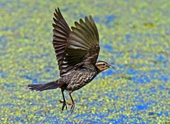 Female Red Winged Blackbird in Flight