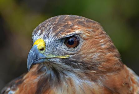 Profile Red Tailed Hawk